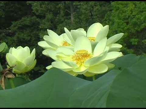 Glorious Lotus Garden