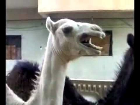 Camel Gets Tickled